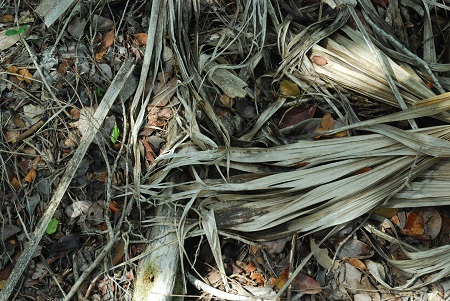 Ground with Frond Remains.jpg