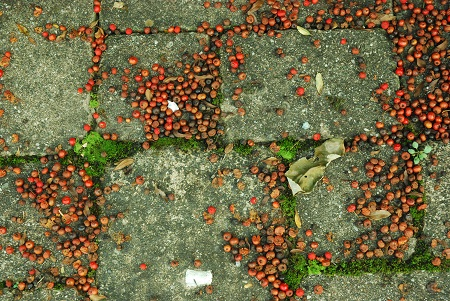 Ground with inedible berries.jpg