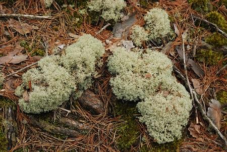 Ground with reinder lichen_655