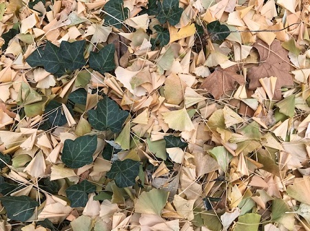 ground-with-ivy-and-ginkgo_0884.jpg