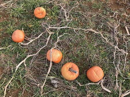 Ground with unchosen pumpkins_1099.jpg